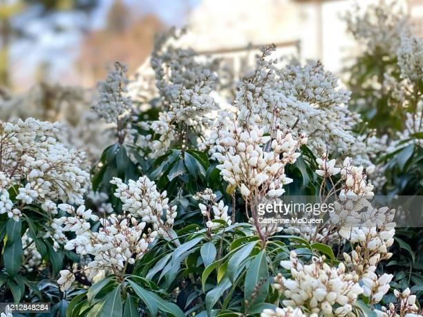 early blooming lily of the valley bush - bouquet de muguet fotografías e imágenes de stock