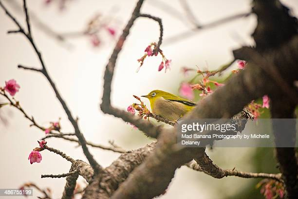 Early Blossoms and White-eyed Bird