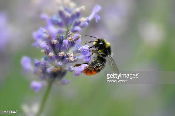 Early bumblebee (Bombus pratorum) collects nectar, common lavender (Lavandula angustifolia), Baden-Wuerttemberg, Germany