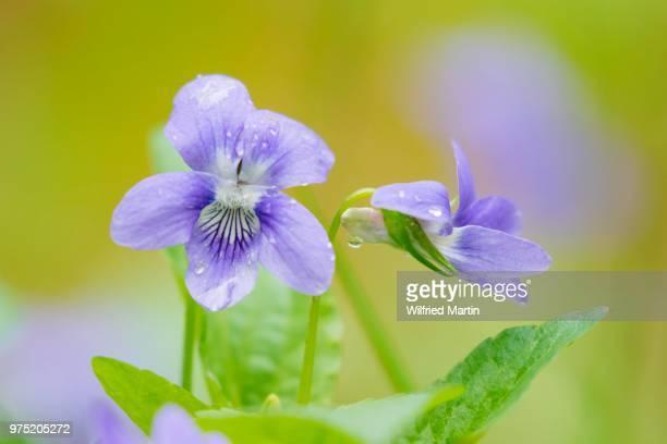 Early Dog-violets (Viola reichenbachiana), Masuria, Poland
