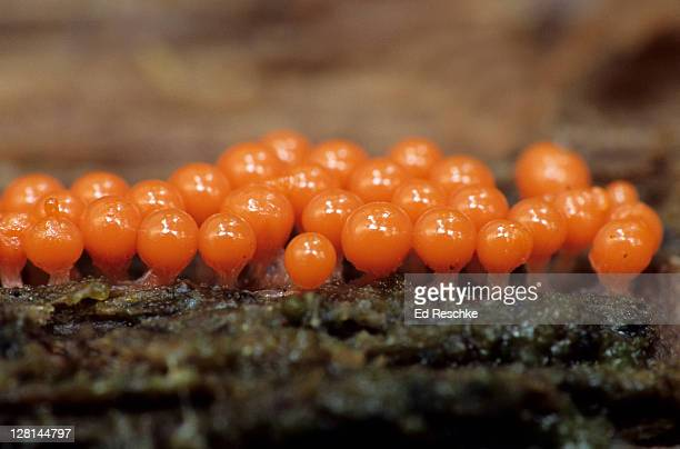 Early Fruiting Bodies, (Hemitrichia sp.) of slime mould (Myxomycetes) on decaying wood, Michigan, USA