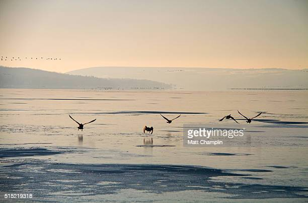 early migrating canadian geese on frozen lake - skaneateles lake stock pictures, royalty-free photos & images