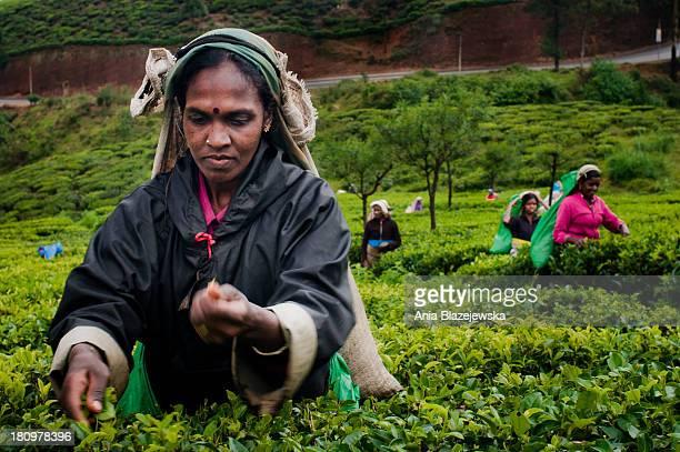 Early morning among tea plantations in Nuwara Eliya. Tamil women picking tea leaves.