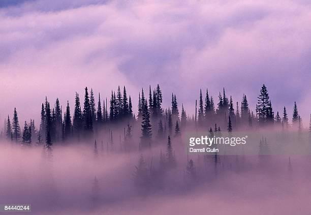 early morning and rising fog thru evergreen forest - cima di albero foto e immagini stock