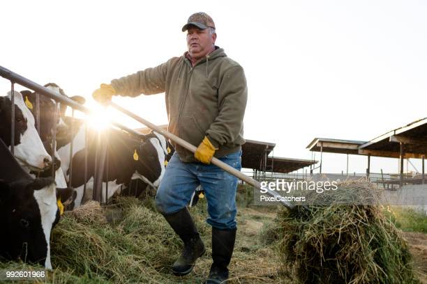 early morning dairy farmer feeds cows moving alfalfa with pitchfork - organic farm stock photos and pictures