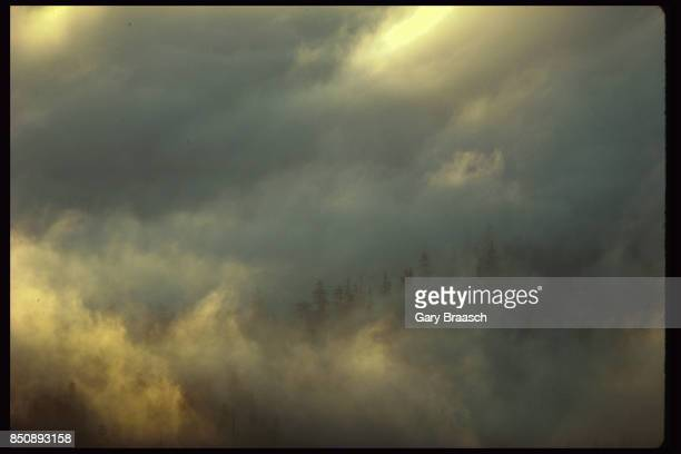 Early morning fog swirls over an old growth forest of fir and hemlock along the Columbia River Gorge in Oregon