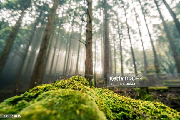 early morning forest and a moss-covered rock. - premier plan net photos et images de collection