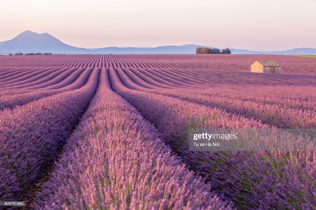 Early morning in a Provence's lavender field with a lone house : Stock-Foto
