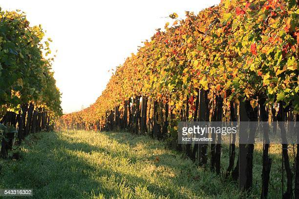 Early morning in the vineyard