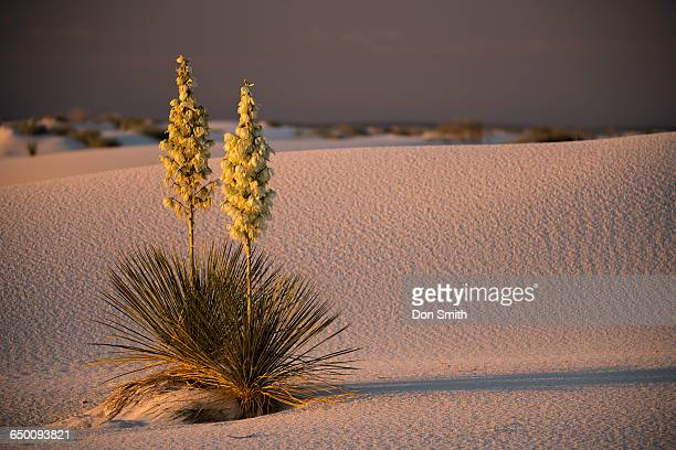early morning light on yuccas - don smith stock photos and pictures