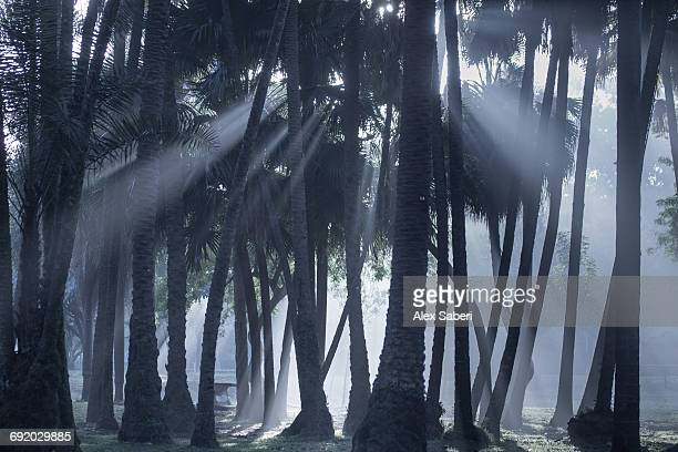 early morning mist and palm trees in sao paulos ibirapuera park. - alex saberi stock pictures, royalty-free photos & images