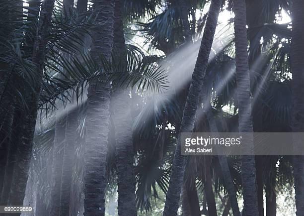 early morning mist and palm trees in sao paulos ibirapuera park. - alex saberi fotografías e imágenes de stock