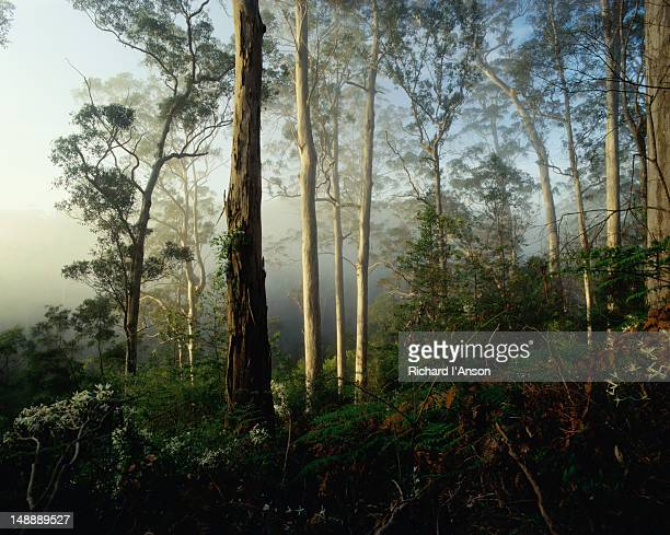 early morning mists through a valley in a karri forest in the warren national park. - valley stock pictures, royalty-free photos & images