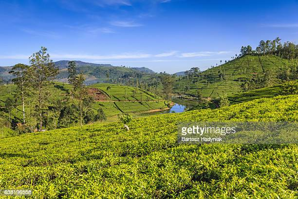 Early morning on tea plantation, Nuwara Eliya, Ceylon
