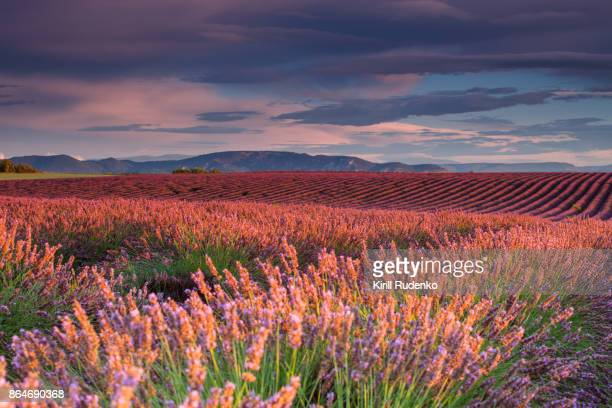 early morning over a lavender field - july stock pictures, royalty-free photos & images
