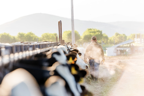 Early morning portrait of a dairy farmer walking away from camera 990917834