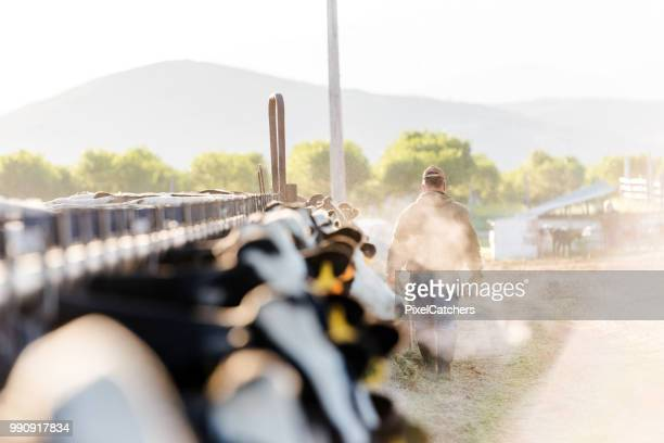 early morning portrait of a dairy farmer walking away from camera - livestock stock pictures, royalty-free photos & images