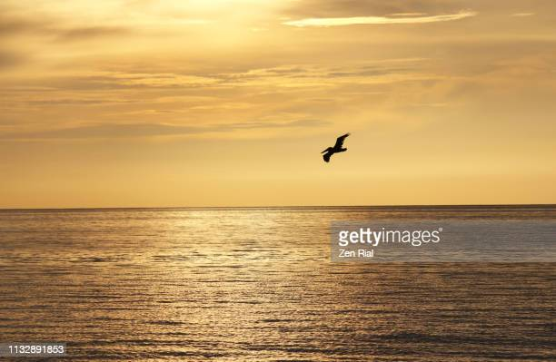early morning scene of a lone bird flying over water with horizon in background - 水鳥 ストックフォトと画像