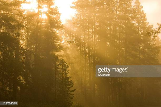 early morning sun rays breaking through the pine trees - ogphoto stock pictures, royalty-free photos & images