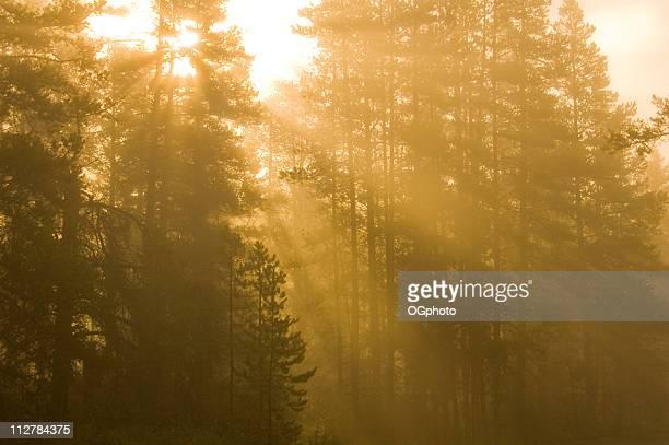 early morning sun rays breaking through the pine trees - ogphoto bildbanksfoton och bilder