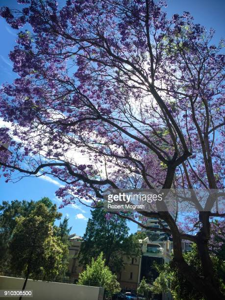 Early morning sun, shines through flowering Jacaranda tree in inner Sydney.