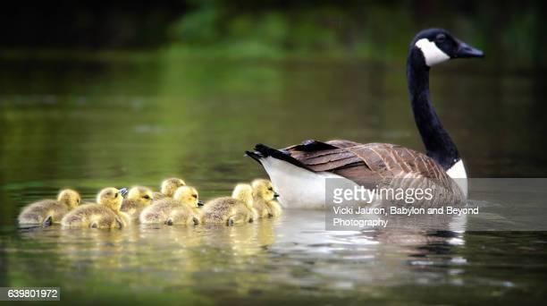 Early Morning Swim for Canada Goose (Branta Canadensis) Family at Massapequa Preserve