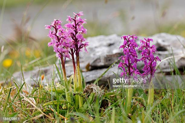 Early Purple Orchid (Orchis mascula), Burren, County Clare, Ireland, Europe