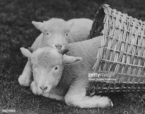 Early signs of spring are indicated by the arrival of these two fluffy lambs Surrey England early to mid 20th century