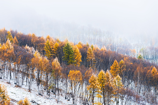 Early snow blankets covering trees in autumn colors - gettyimageskorea