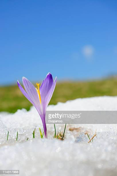 Early Spring Crocus in Snow series