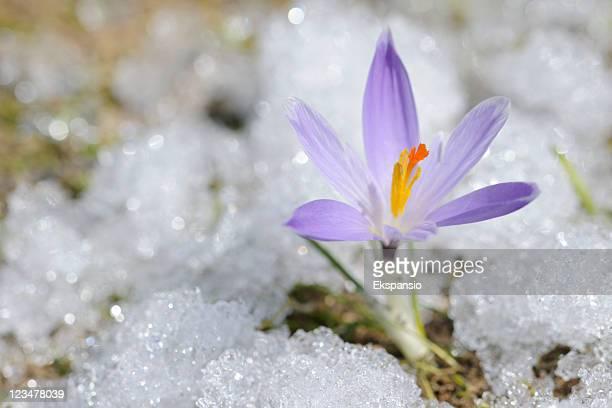 早春クロッカスの雪シリーズ