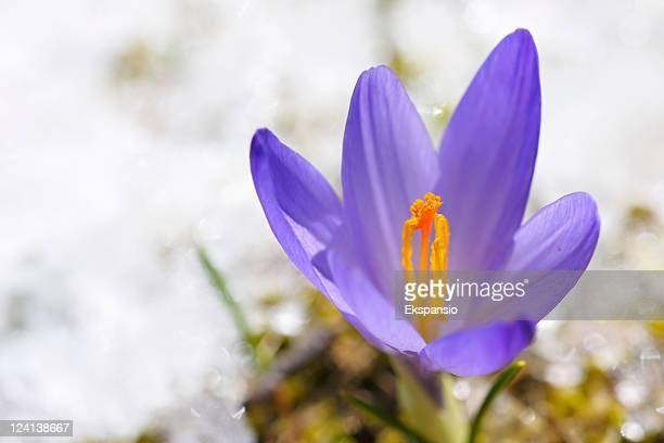 Frühling Krokusse im Schnee series