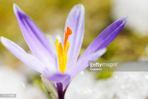 principios de la primavera en la nieve serie azafrán - carolina abril fotografías e imágenes de stock