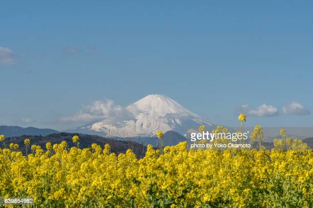 early spring flower gland and fuji - 茨城県 ストックフォトと画像