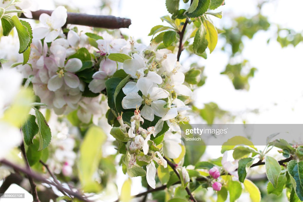 Early spring flowering apple tree with bright white flowers stock early spring flowering apple tree with bright white flowers stock photo mightylinksfo