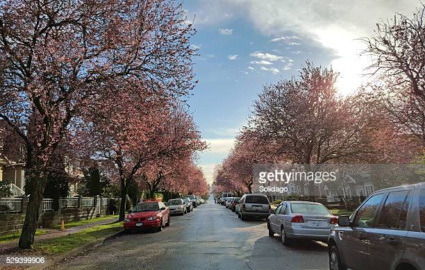 Early Spring Morning On Cherry Blossom Avenue
