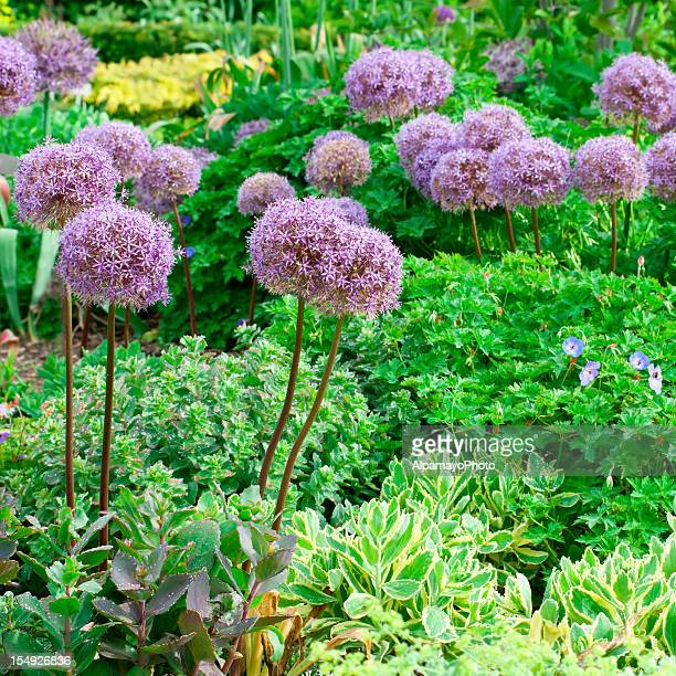 early summer flower garden - ii - catmint stock pictures, royalty-free photos & images