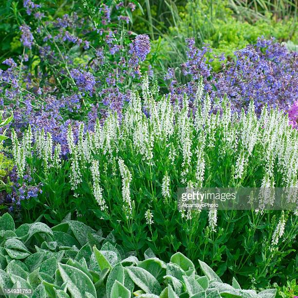 early summer flower garden - v - catmint stock pictures, royalty-free photos & images