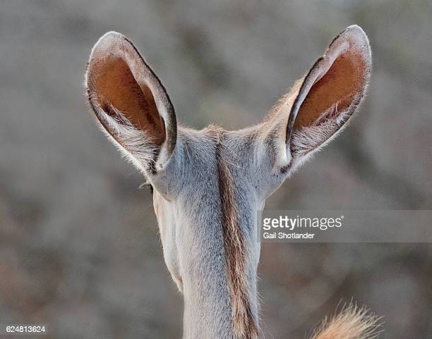 ears facing back (of a deer) - animal ear stock photos and pictures