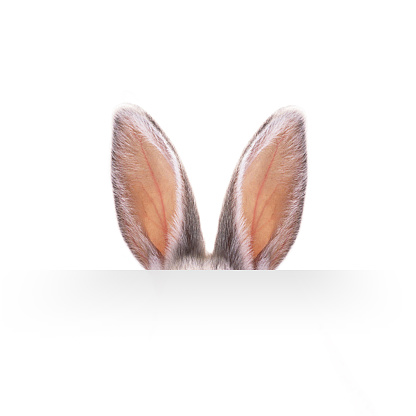 Ears of a hare on a white background. 891531896