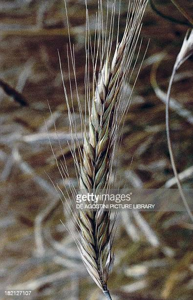 Ears of Rye , Poaceae.
