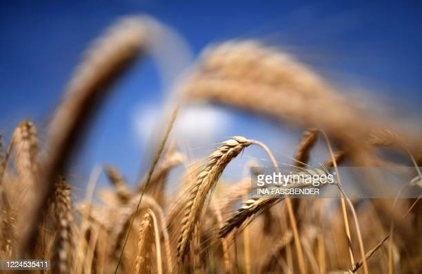 Ears of wheat are seen at a field in Selm, western Germany on July 3, 2020.