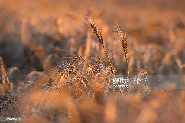 Ears of wheat during a harvest in Benfleet, U.K., on Tuesday, Aug. 24, 2021. Global wheat prices jumped after the U.S. Shocked markets earlier in the...