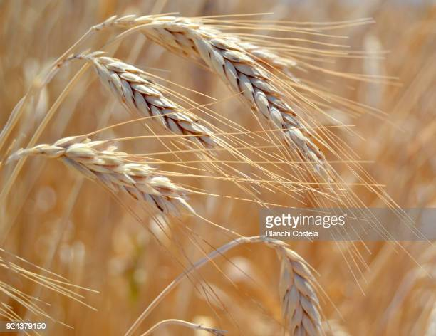 ears of wheat in the field - rye grain stock pictures, royalty-free photos & images