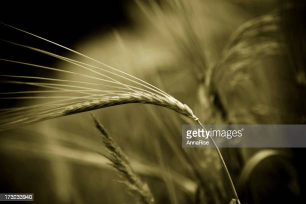 Ears of wheat. Sepia toned photo.