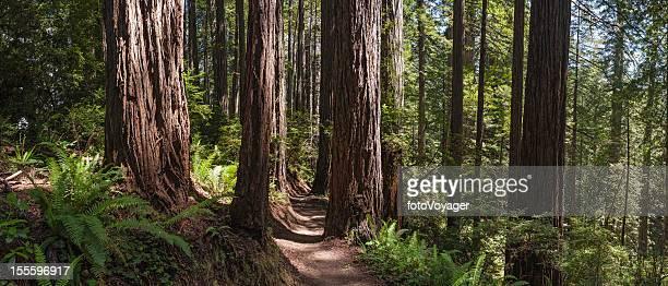 Erde trail durch die riesigen Redwood forest