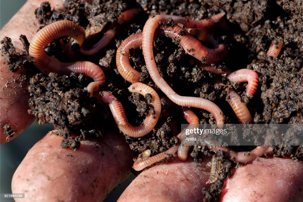 Earth worms used for vermicomposting. Hand holding compost with redworms.