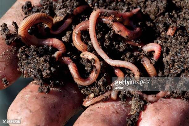 Earth worms used for vermicomposting Hand holding compost with redworms
