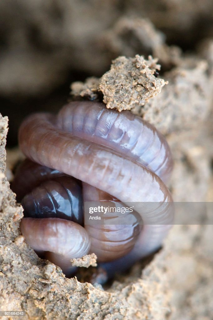 Earthworm and tunnel in the soil. Curled up earthworm.