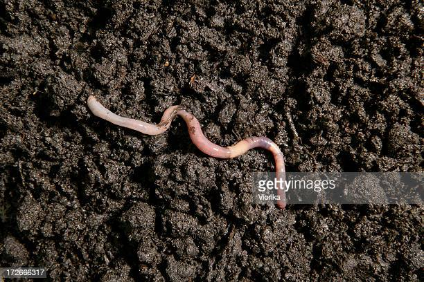 earthworm in the dirt - worm stock photos and pictures